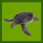 Террариум для черепахи: Водная красноухая черепаха